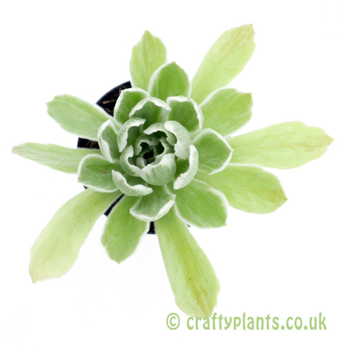 A top down view of Aeonium 'Ballerina' by craftyplants