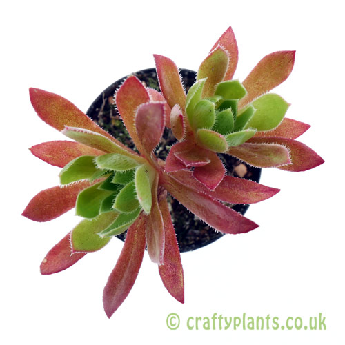 A top down look at Aeonium 'Cornish Tribute' by Craftyplants