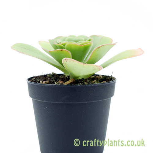 A side on view of Aeonium 'Dinner Plate' in a pot by craftyplants