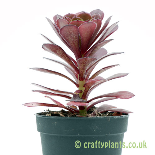 A side on view of Aeonium 'Pygmaea' by Craftyplants