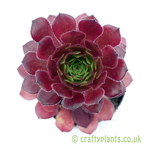 A top down view of Aeonium 'Pygmaea' by Craftyplants