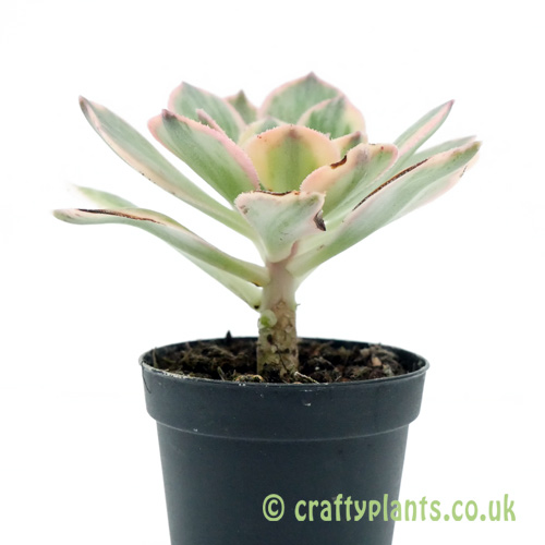 A side on view of Aeonium 'Sunburst' by Craftyplants