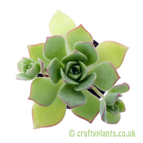 A top down view of Aeonium haworthii by Craftyplants