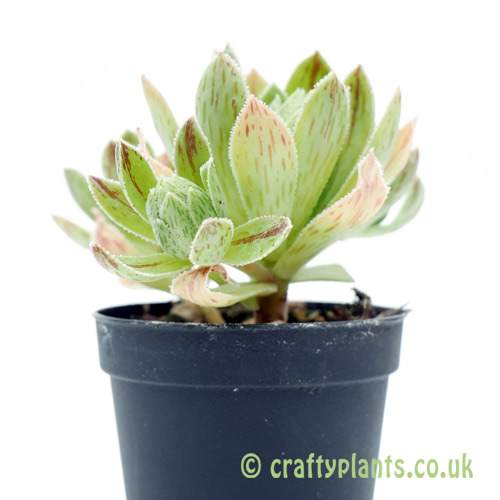 A side on view of Aeonium simsii by Craftyplants
