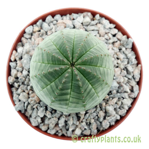 A top down view of Euphorbia obesa by craftyplants