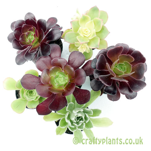 A mixed Aeonium 6 pack from craftyplants