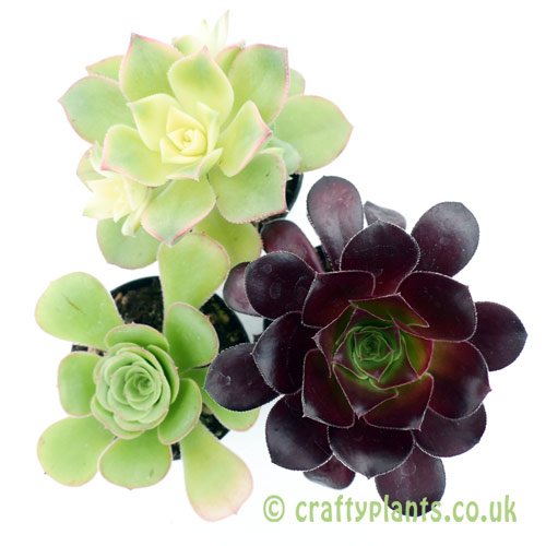 A mixed Aeonium 3 pack from craftyplants