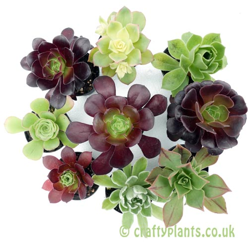 A mixed pack of 9 aeoniums by craftyplants