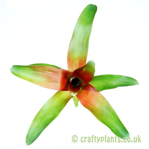 A top down look at Neoregelia 'Meyendorfii' from craftyplants