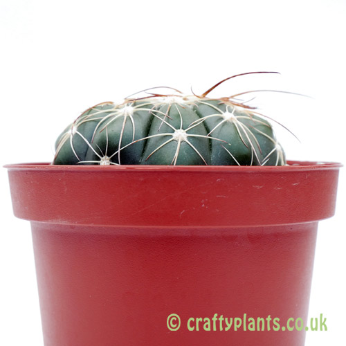 A side on image of Notocactus uebelmannianus by craftyplants