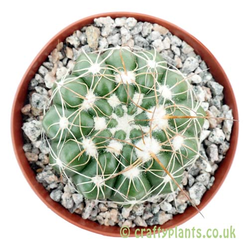 A top down view of Notocactus uebelmannianus by craftyplants