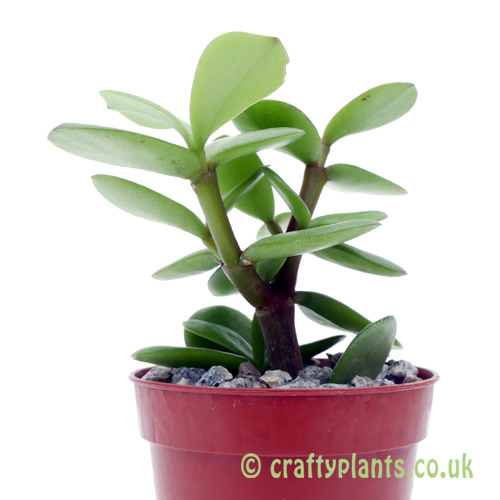 A side on view of Portulacaria afra (Spekboom) by craftyplants
