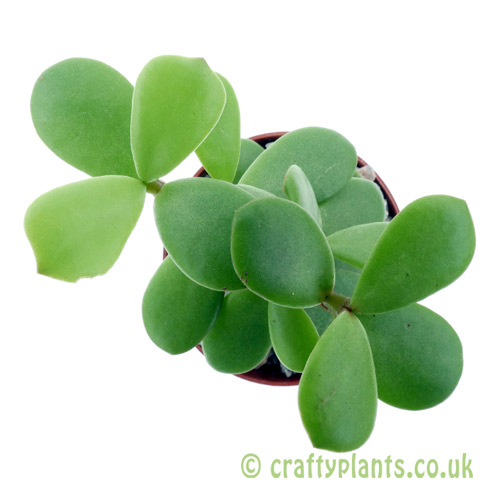 A top down view of Portulacaria afra (Spekboom) by craftyplants