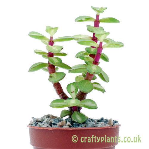 A side on view of Portulacria afra 'Medio-Picta' by craftyplants
