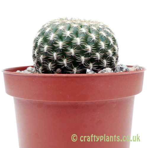 A side on view of Sulcorebutia arenacea by craftyplants