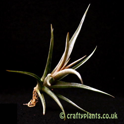Another look at Tillandsia erici from craftyplants