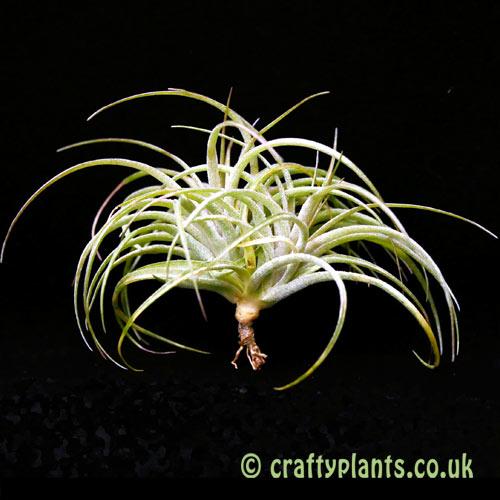 Tillandsia globosa x sucrei by craftyplants