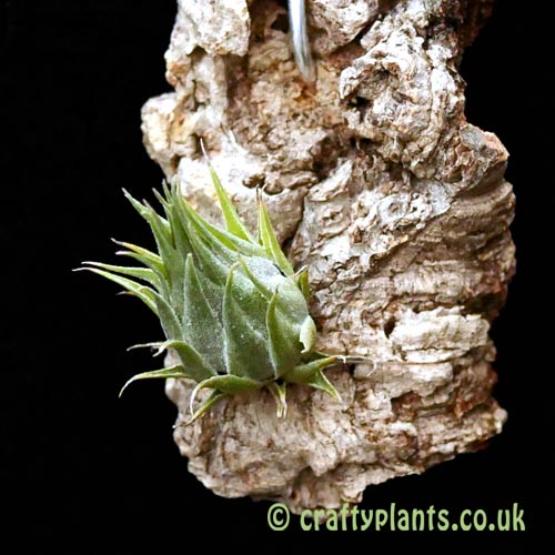 Tillandsia kautski from craftyplants.co.uk