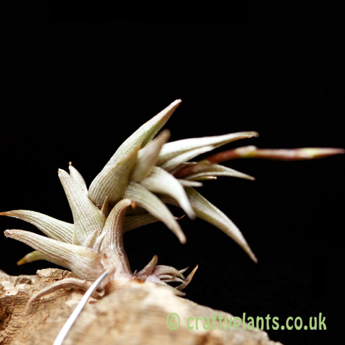 Close up of Tillandsia peiranoi by craftyplants