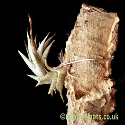 Tillandsia peiranoi from craftyplants.co.uk