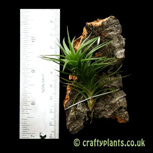 Tillandsia tenuifolia var. vaginata with a ruler by craftyplants