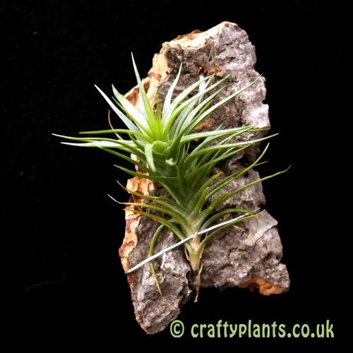Tillandsia tenuifolia var. vaginata by craftyplants