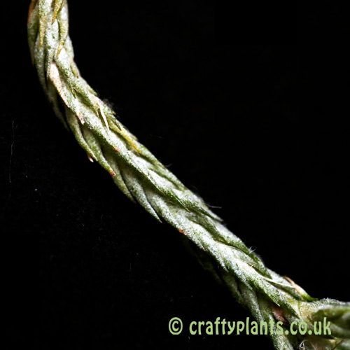 Close up of Tillandsia tricholepis closed form from craftyplants