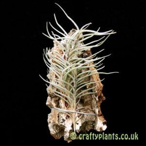 Tillandsia virescens from craftyplants