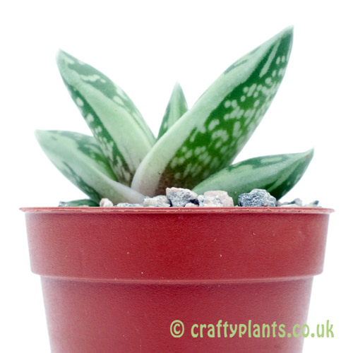A side on view of x Gasteraloe 'Green Ice' by craftyplants