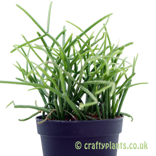 A side on look at Rhipsalis 'Oasis' from craftyplants