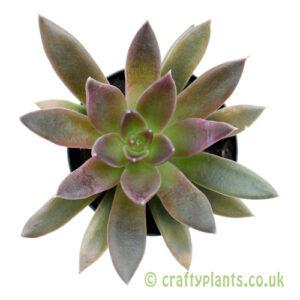 A top down look at Echeveria 'Serrana' by craftyplants
