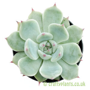 A top down look at Echeveria chihuahuaensis by craftyplants